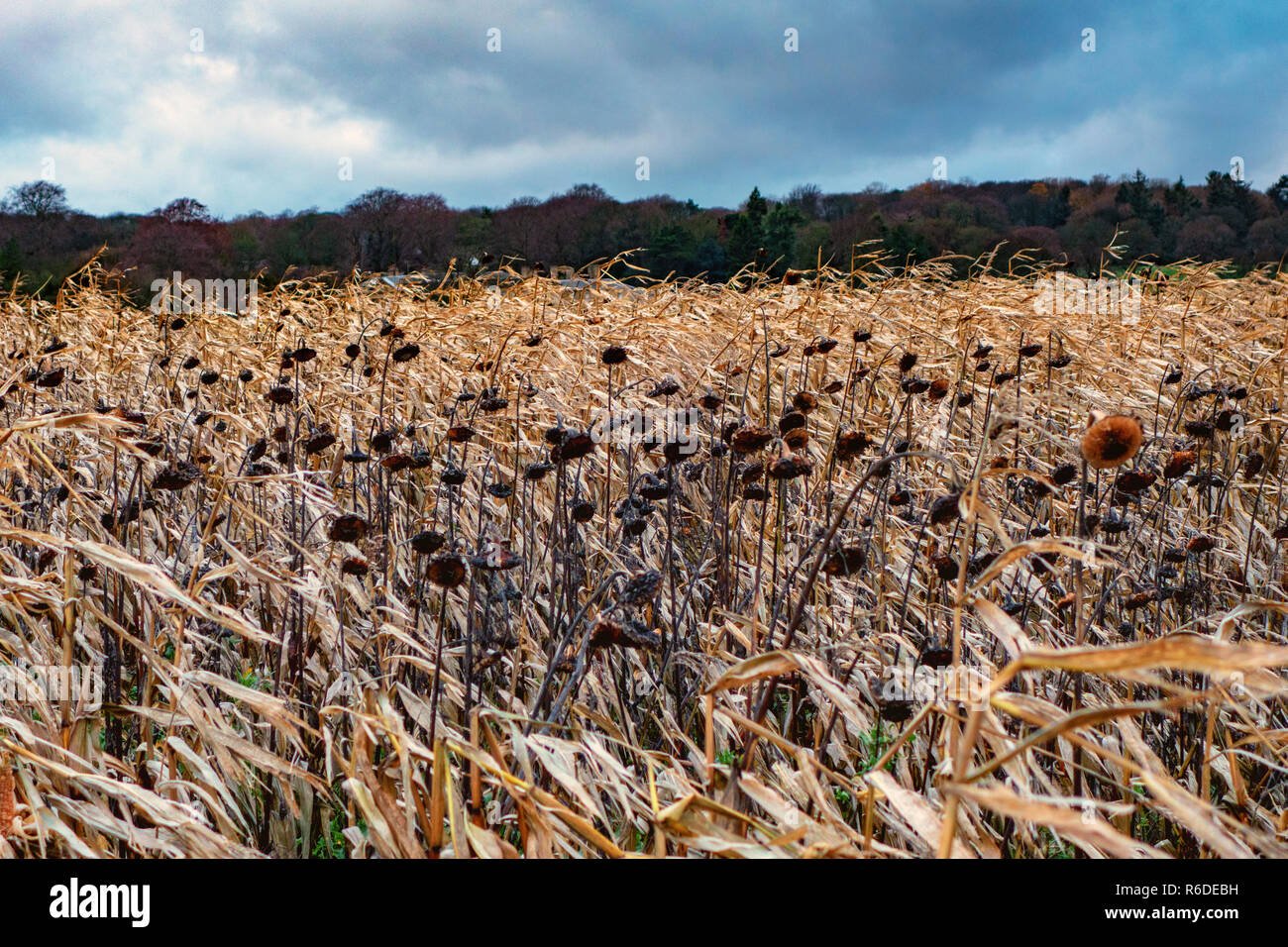 A field of dead Sunflowers in the foreground on the Pennine Way near Barnsley, England on a Stormy winters day - Stock Image