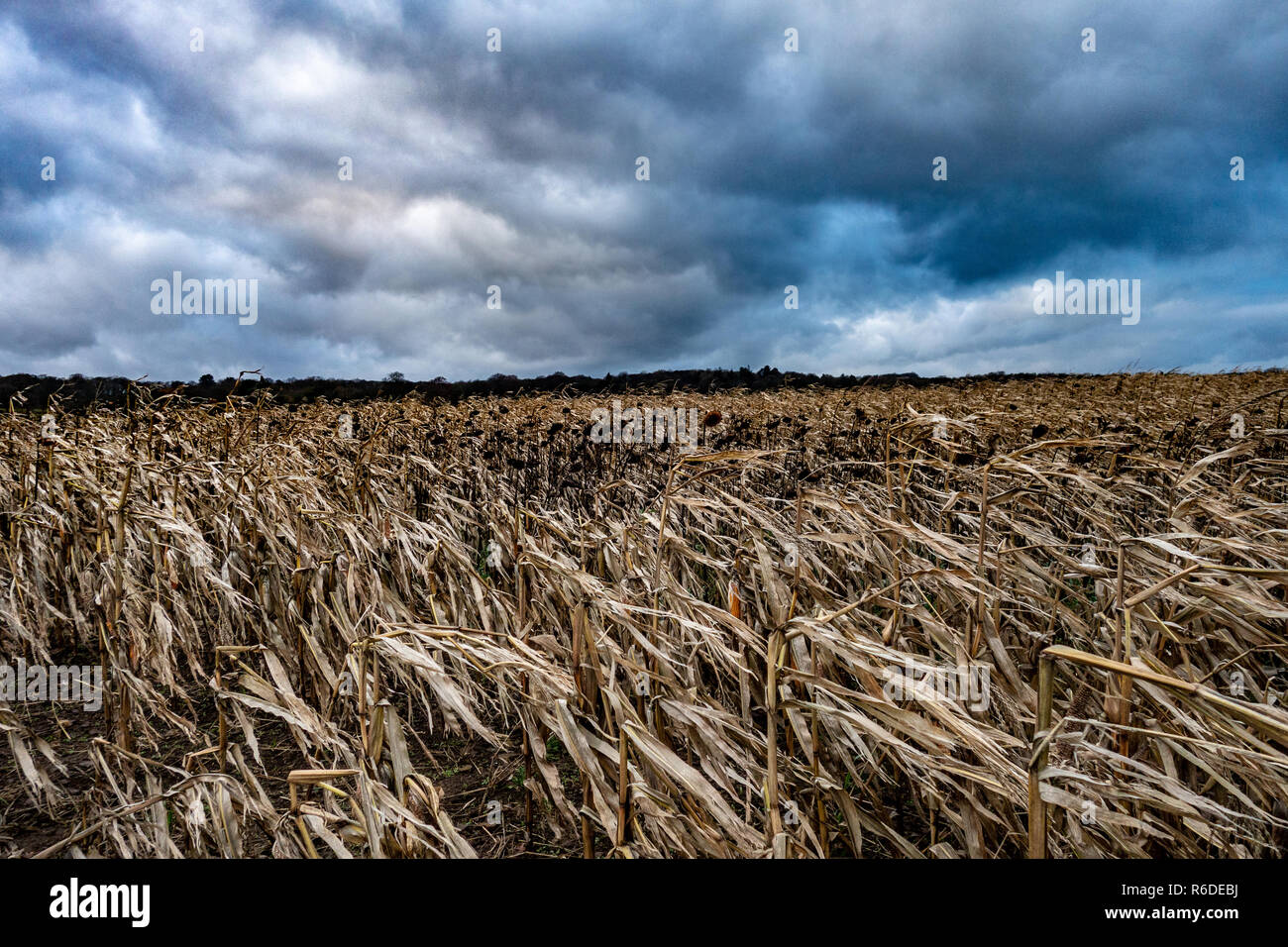 Storm clouds over a field of dead Sunflowers in the foreground - Stock Image