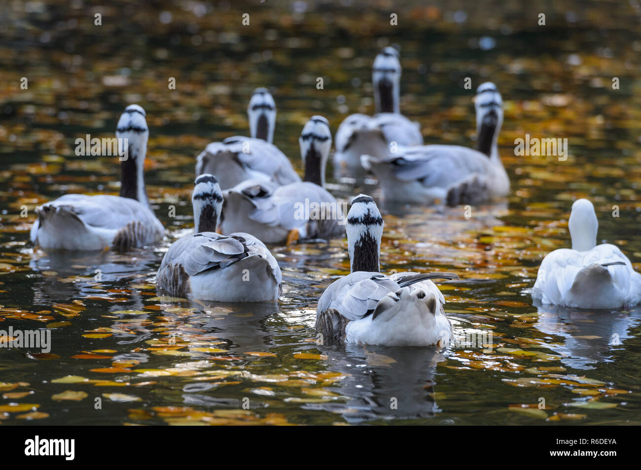 striped geese swim in the water Stock Photo