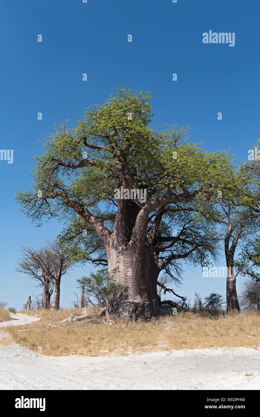 Baines baobab from Nxai Pan National Park, Botswana. - Stock Image