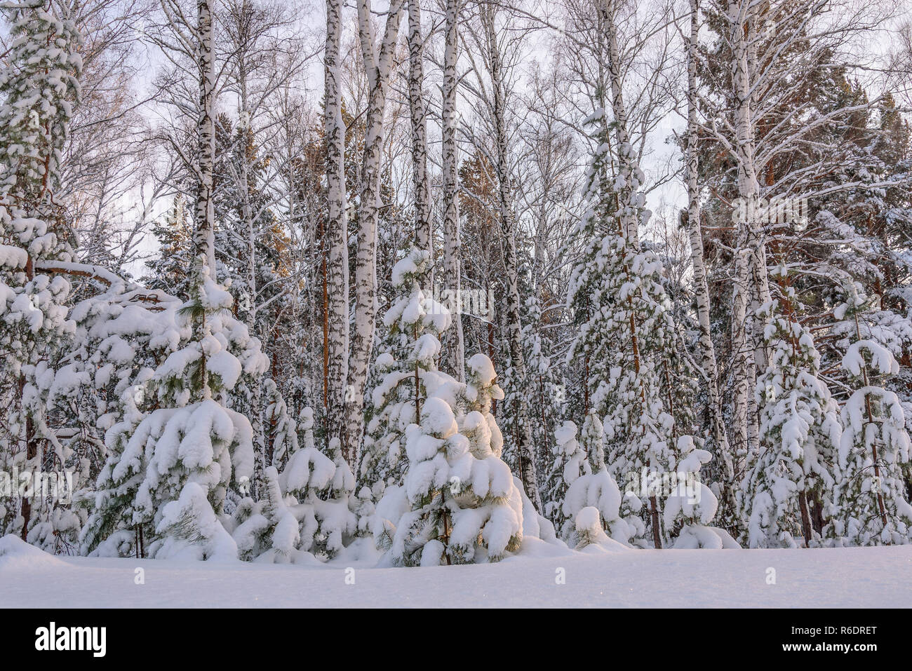 Beautiful winter forest with spruces, birches, small pines with snow on the branches and snowdrifts - Stock Image