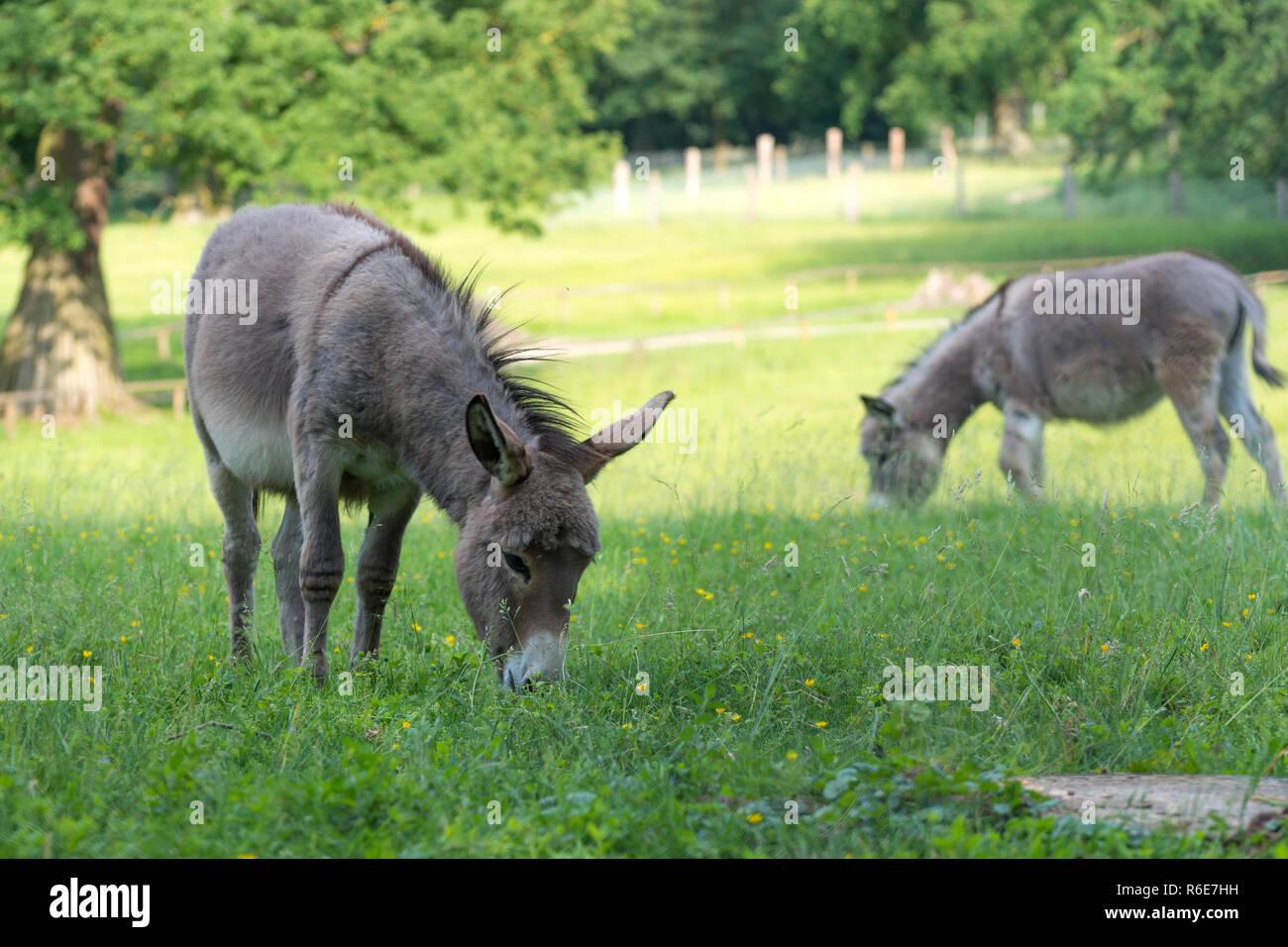 2 Esel auf der Weide vor Bäumen beim grasen Stock Photo