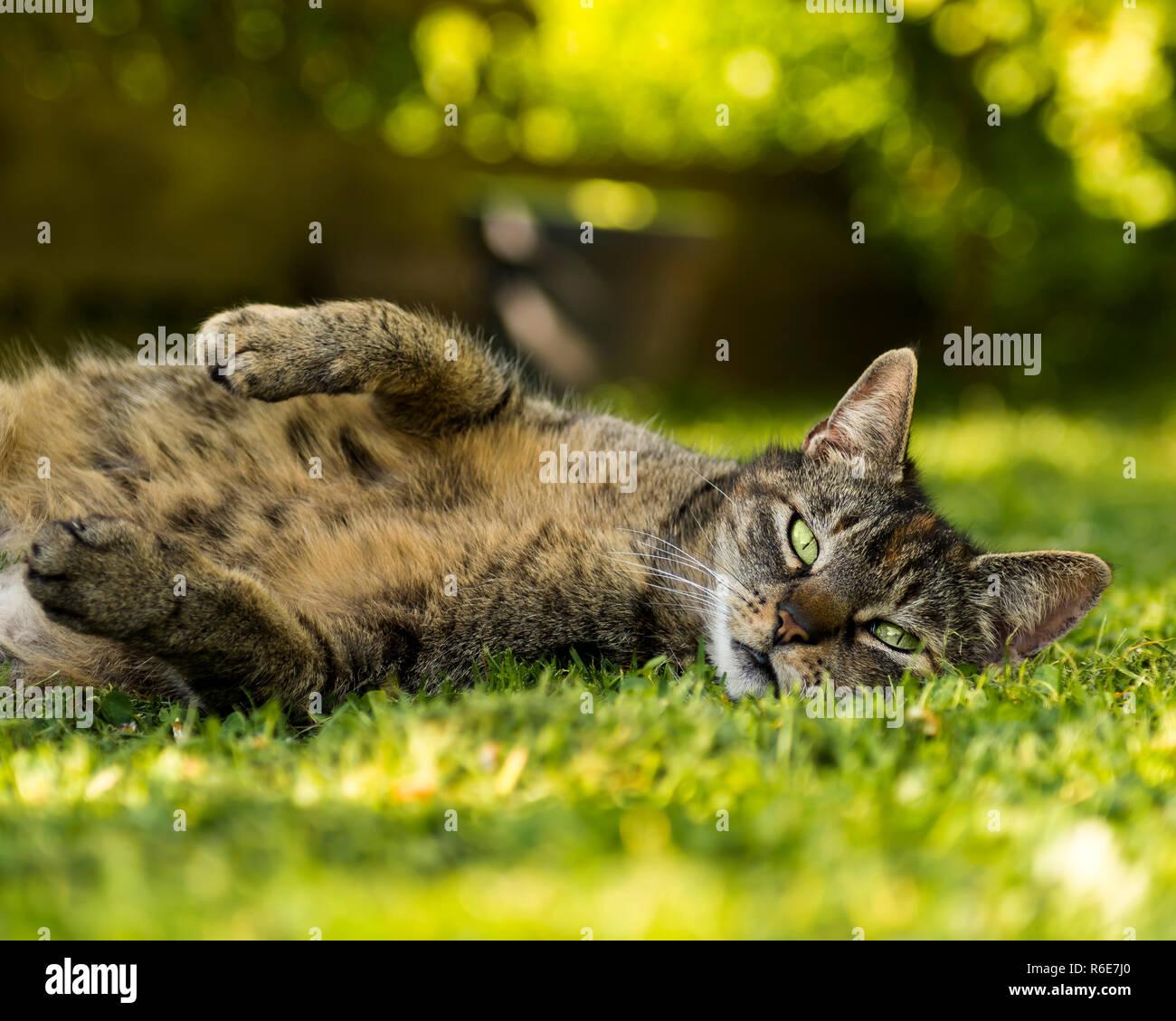 Katze liegt auf Wiese und schaut in die Kamera Stock Photo