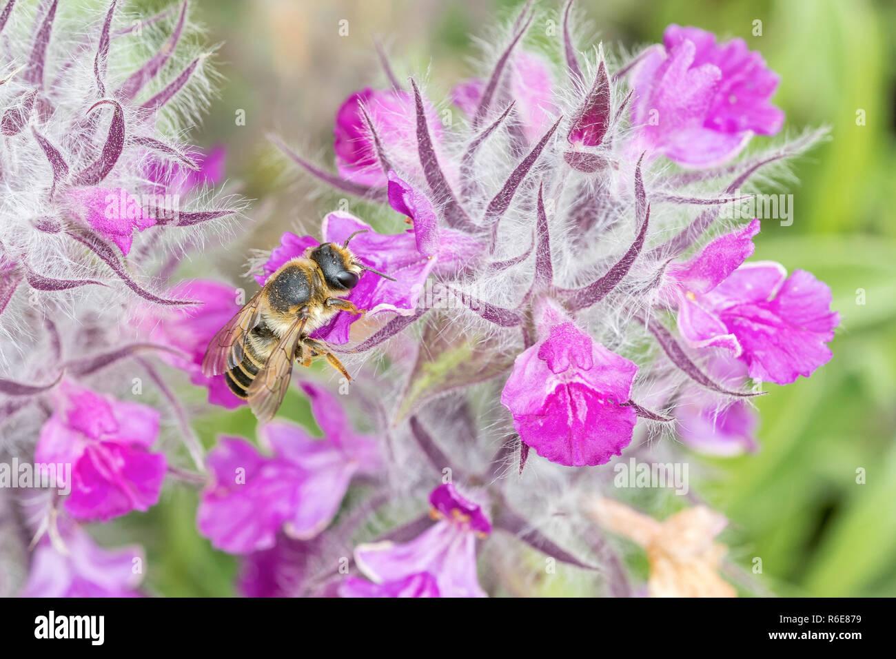 Lavendelblättriger Ziest - Stock Image