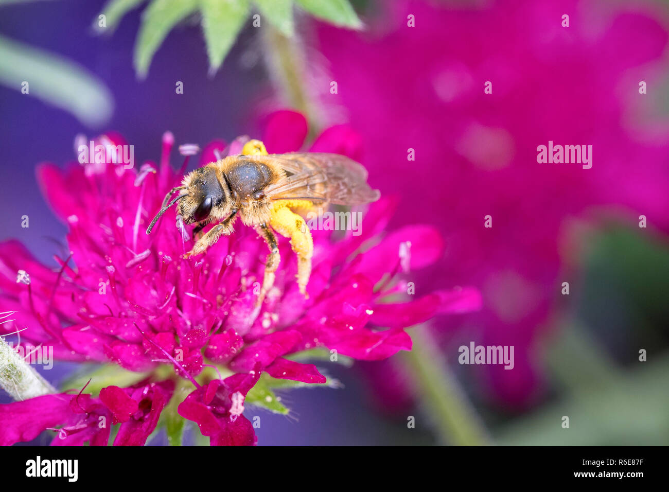 Bee Pollinates A Flower - Stock Image