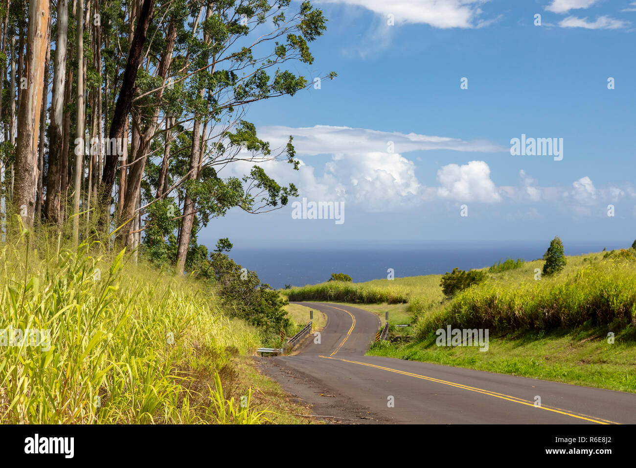 Pa'auilo, Hawaii - Eucalyptus tree plantations line a rural road above the Pacific Ocean. Thousands of acres of eucalyptus trees were planted after th - Stock Image