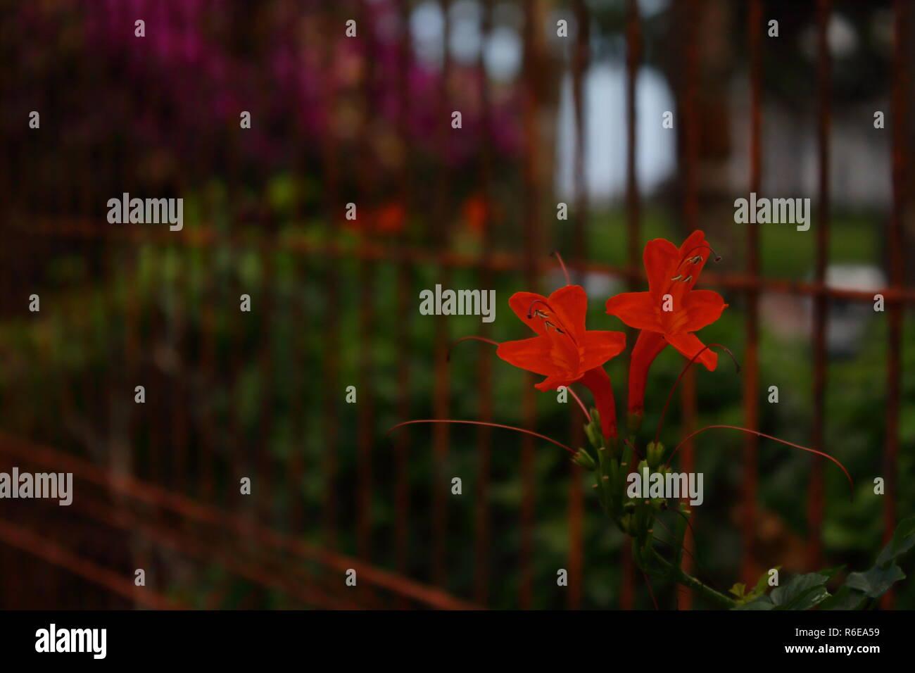 Red flower between bars. Flor roja entre las rejas - Stock Image