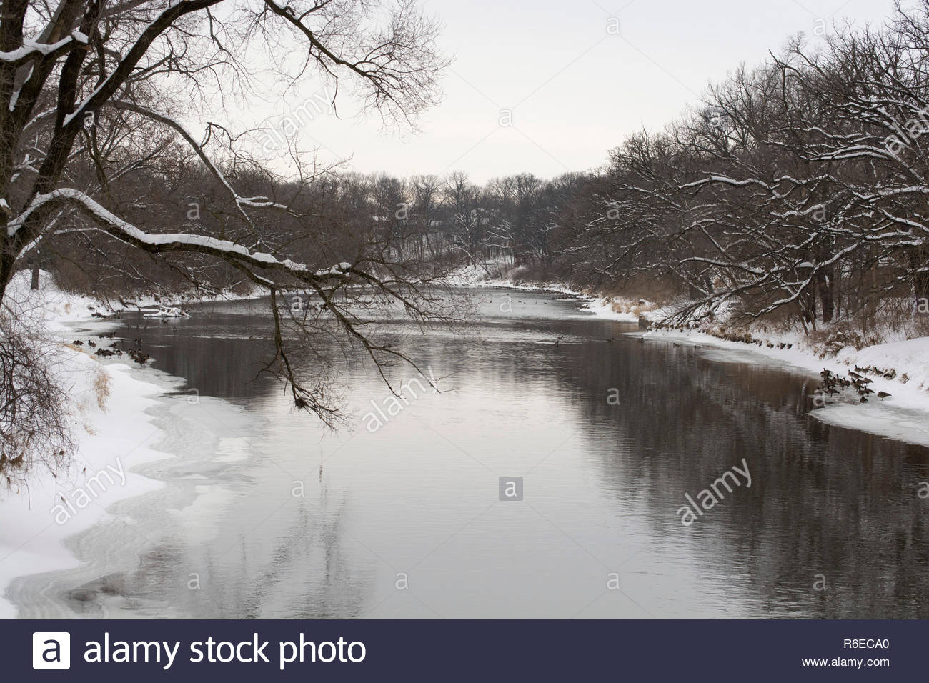 A winter scene in a small town in Illinois, United States. It includes a river lined by trees and numerous Canadian geese at the water's edge. - Stock Image