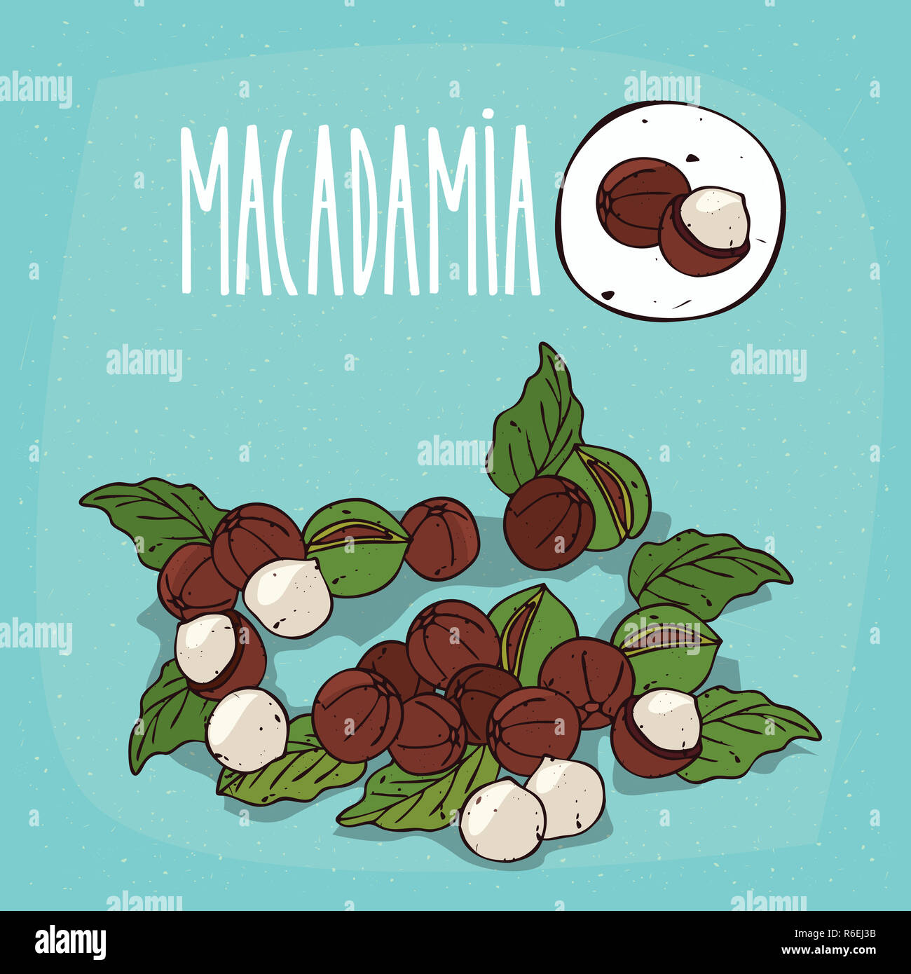 Set of isolated plant Macadamia nuts herb Stock Photo