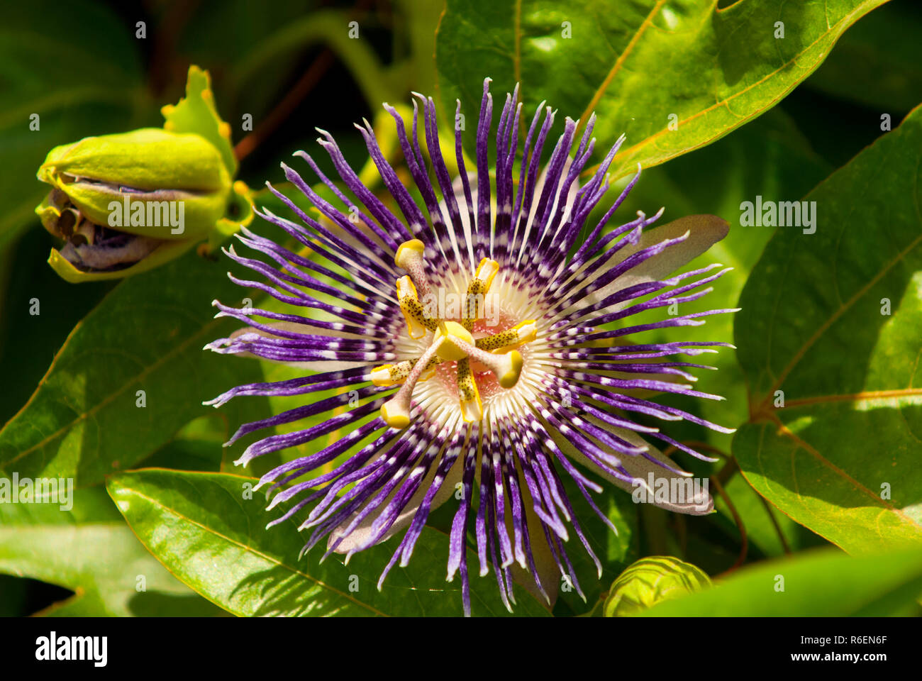 Passiflora Incarnata Commonly Purple Passionflower Is A Fast