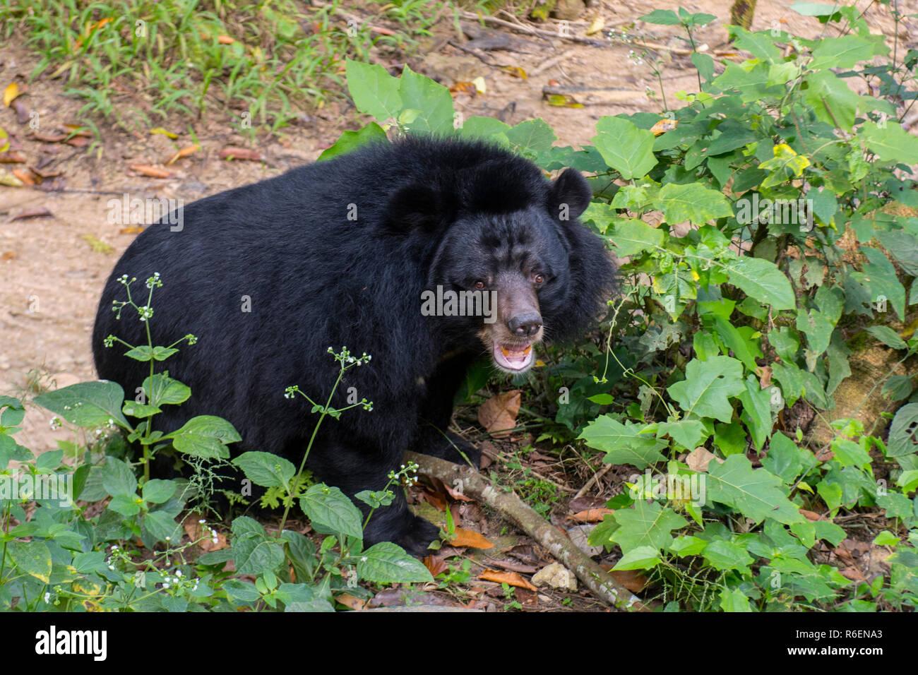 The Asian Black Bear (Ursus Thibetanus, Selenarctos Thibetanus, Moon, Asiatic Black And White-Chested Bear) Near Luang Prabang In Laos, Indochina, Sou - Stock Image