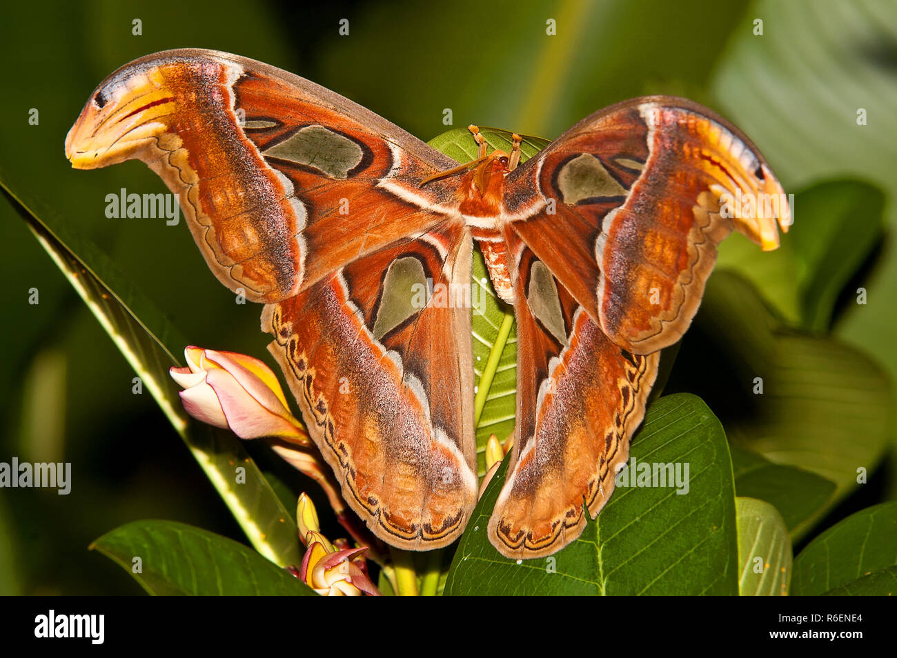 Night Butterfly Atlas Moth Or Attacus Atlas The Biggest Butterfly, Thailand - Stock Image