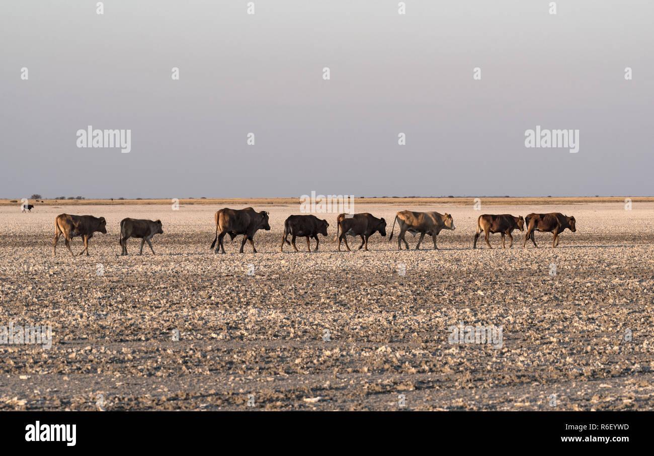 herd of cattle on Makgadikgadi Pan, Nwetwe Pan in Botswana. - Stock Image