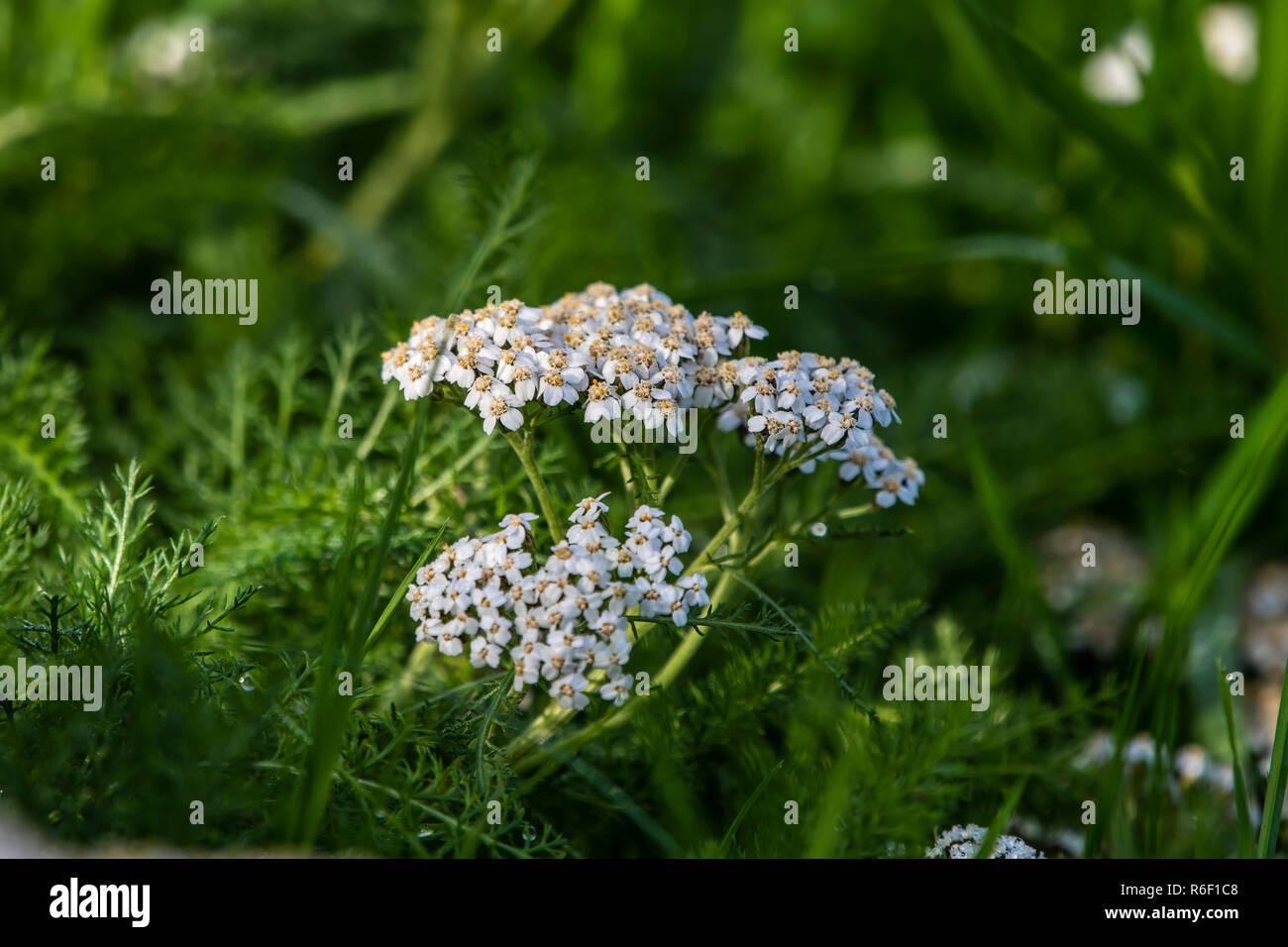 Flowering Parsley Water-Dropwort - Stock Image