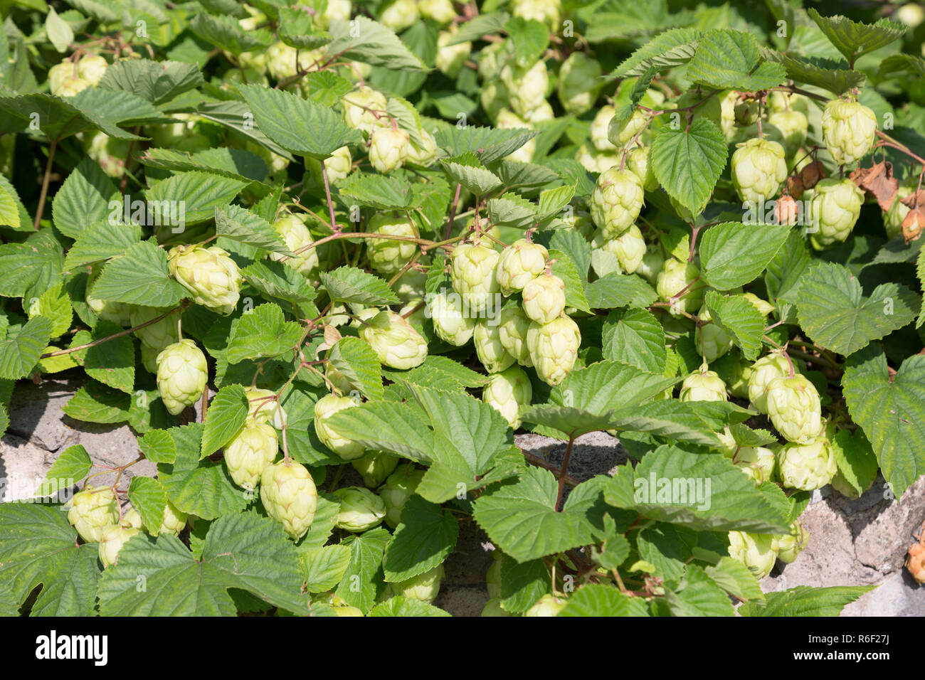 Fresh green hops cones for making beer and bread - Stock Image