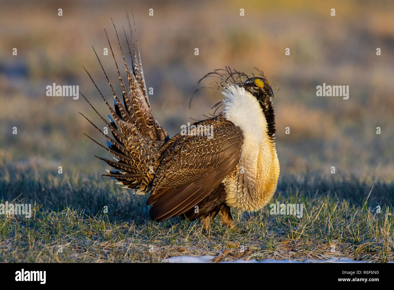 Greater Sage-Grouse  Centrocercus urophasianus SE of Walden, Colorado, United States 22 April 2018       Adult Male       Phasianidae - Stock Image