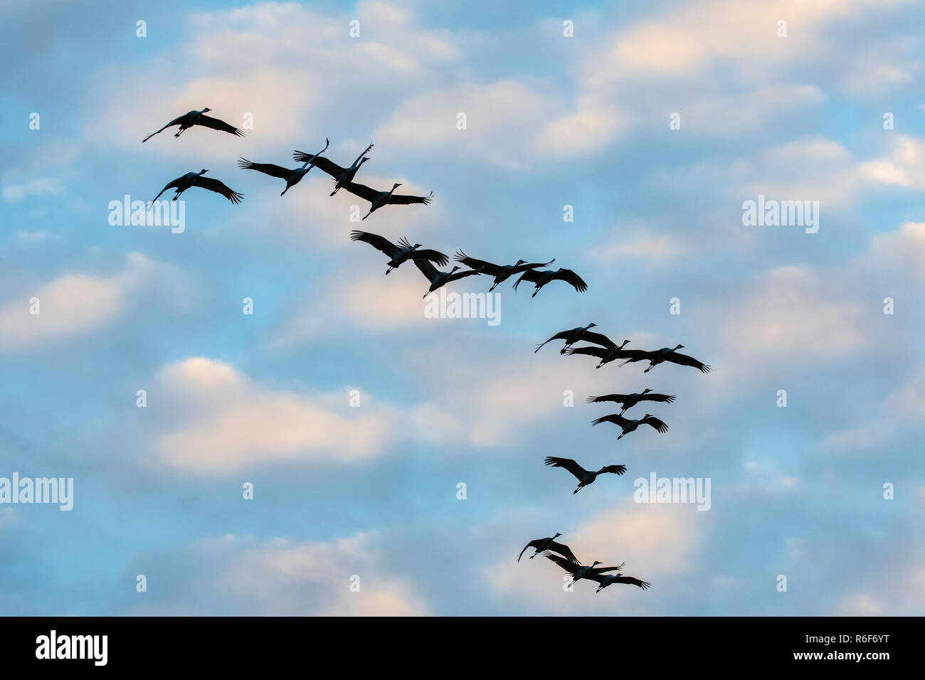 Spring Is In Air Cranes Are Returning >> Sunset Flock Sandhill Cranes Returning To Their Roosting Area Crex