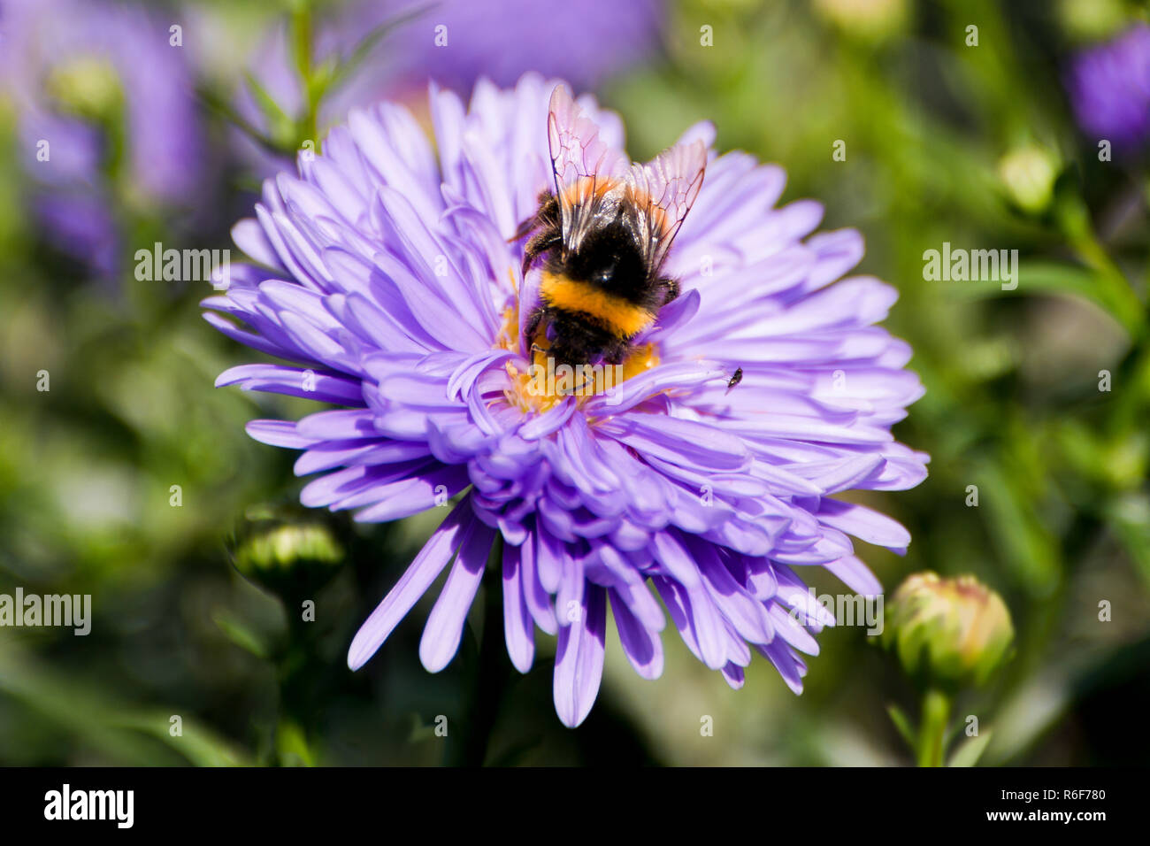 Horizontal close up of a fluffy bumblebee collecting nectar on a purple flower. Stock Photo