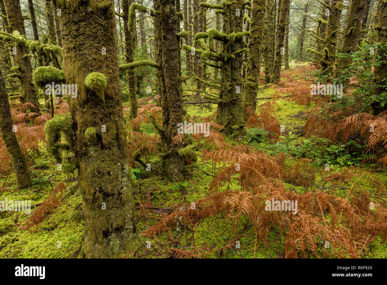 Moss-covered hemlock trees and dying ferns, Fort Stevens State Park, October, OR, USA, by Dominique Braud/Dembinsky Photo Assoc - Stock Image