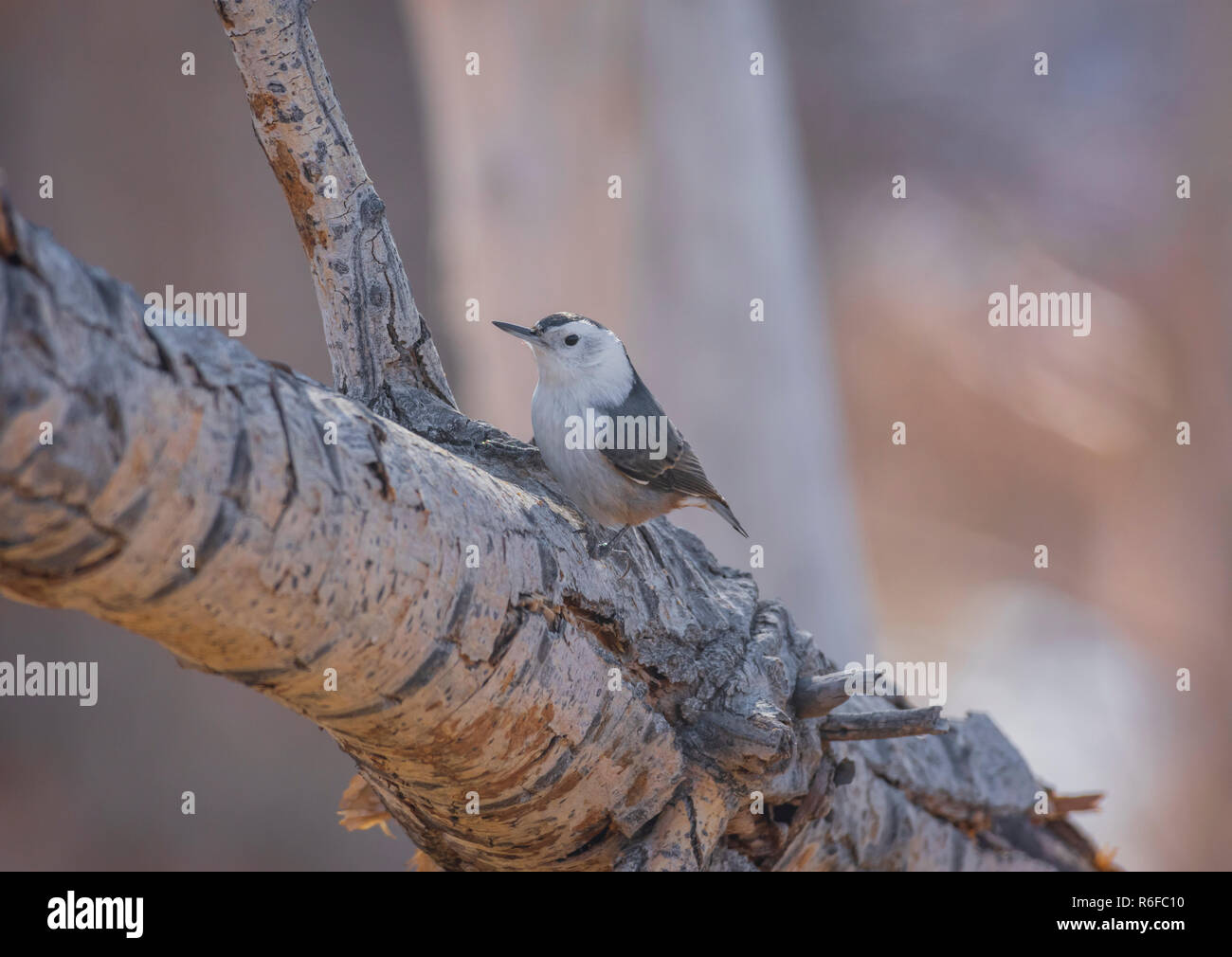 White-breasted nuthatch (Sitta carolinensis) in Cottonwood tree, Castle Rock Colorado US. Photo taken in November. - Stock Image