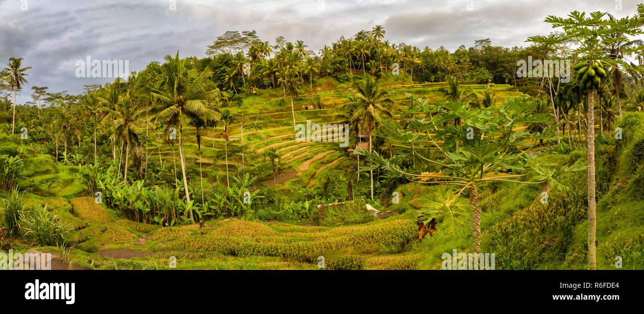 Panorama of Tegallalang Rice Fields in Ubud, Bali, Indonesia - Stock Image