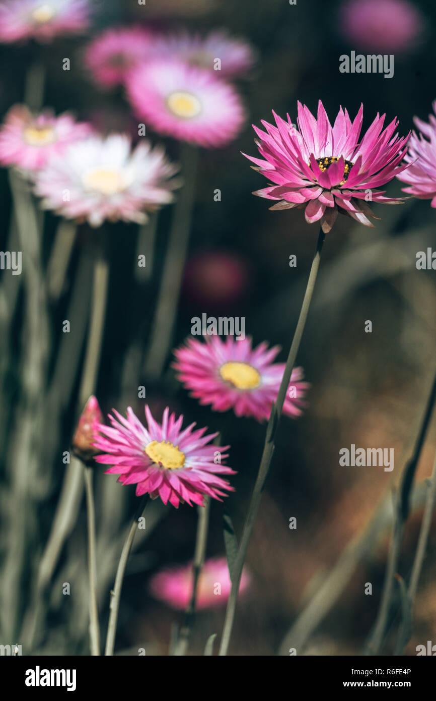 pink Flower field - Stock Image