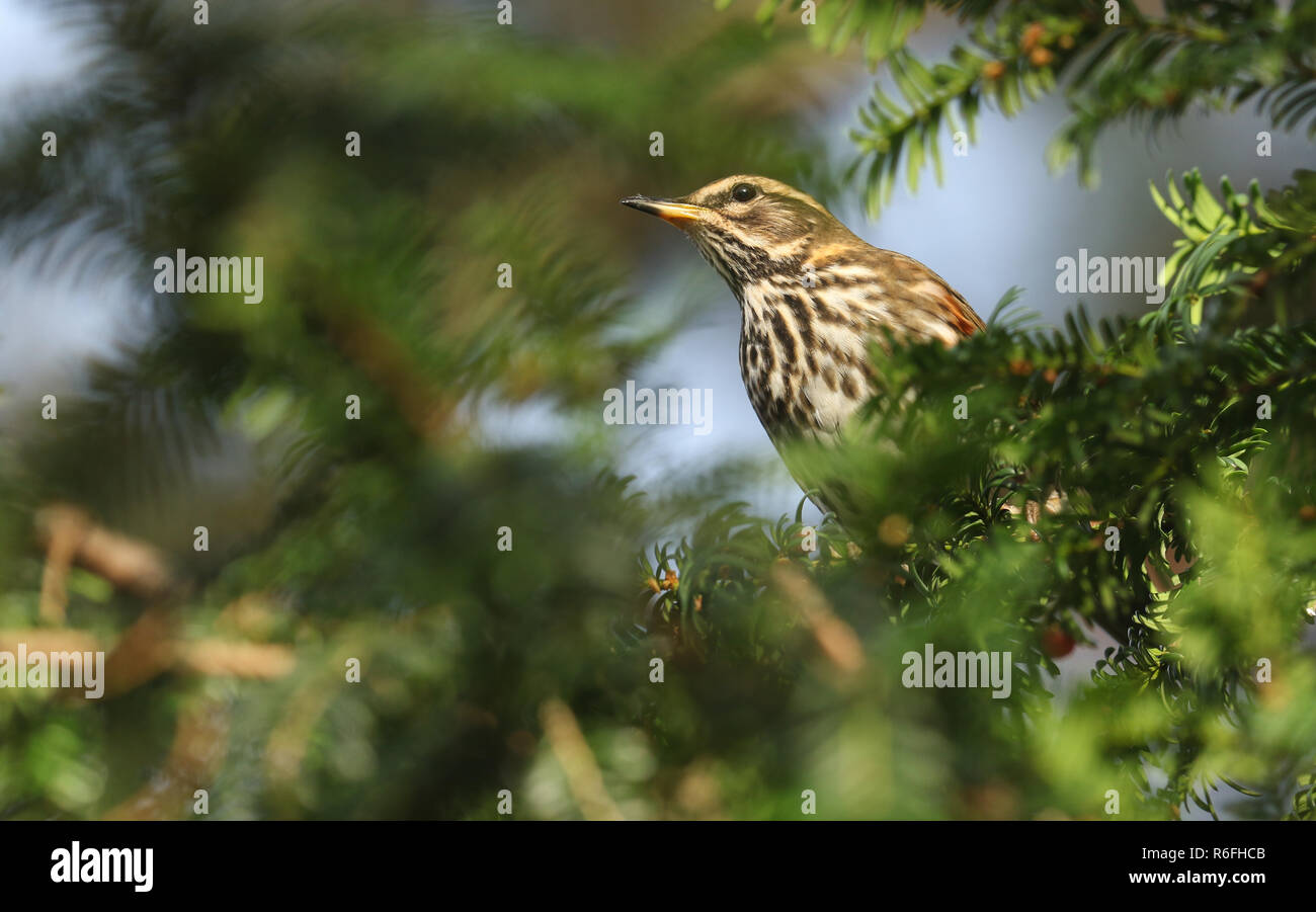 A beautiful Redwing (Turdus iliacus) feeding on Yew tree berries. - Stock Image