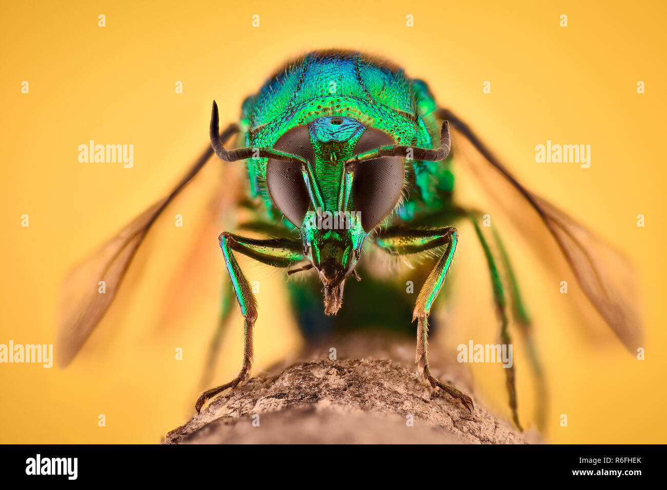 Extreme magnification - Cuckoo wasp - Stock Image