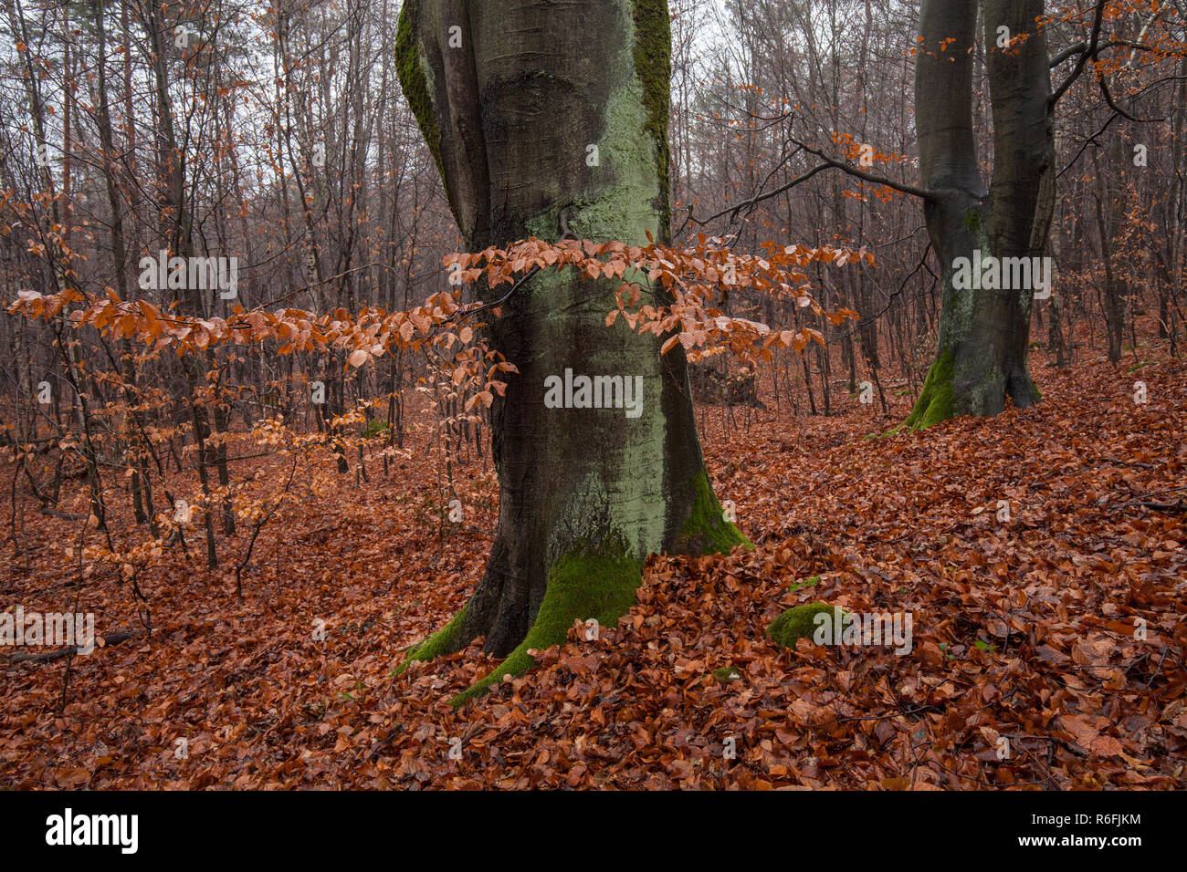 Beech forest in autumn - Stock Image