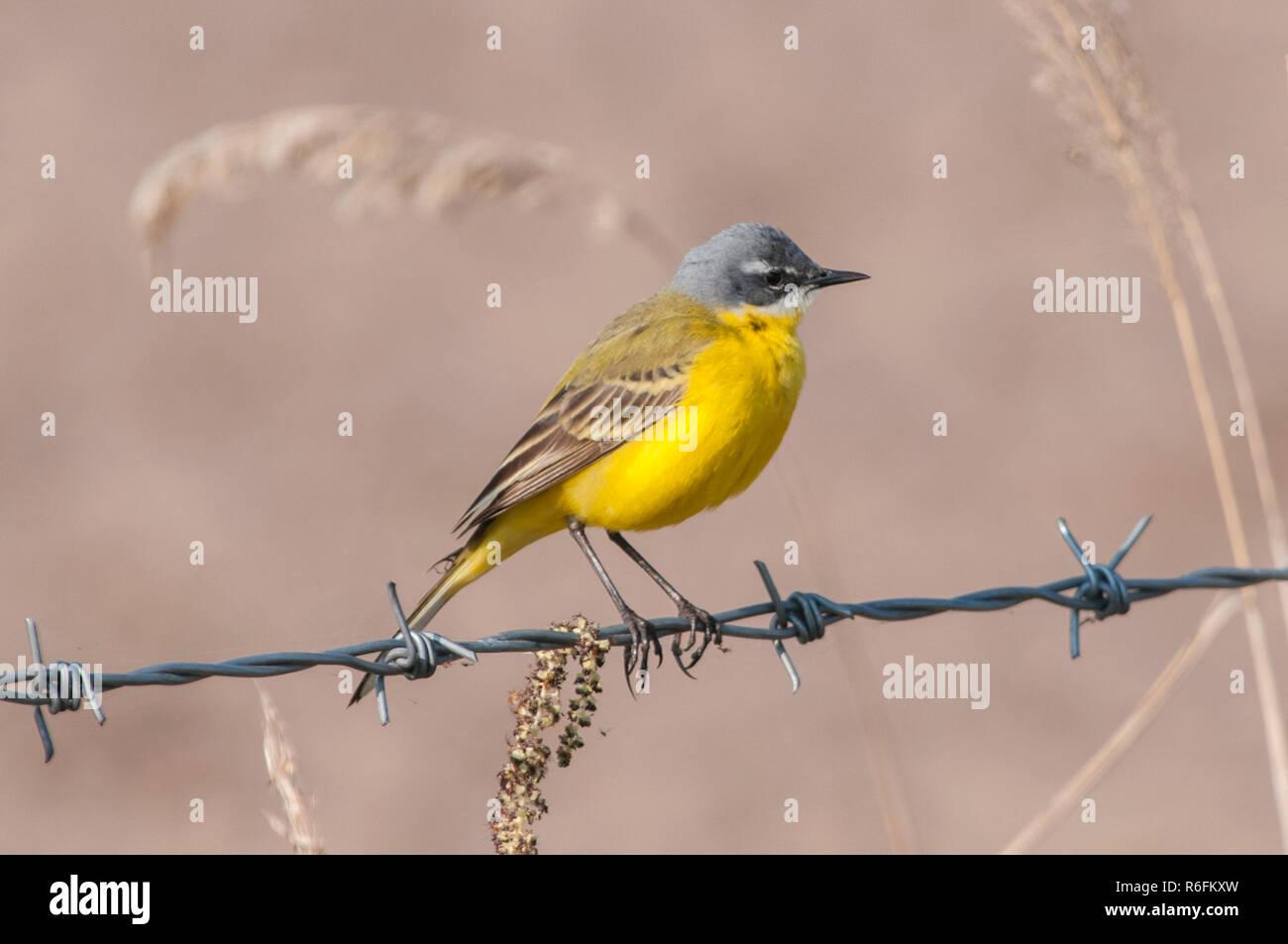 The Western Yellow Wagtail (Motacilla Flava) - Stock Image