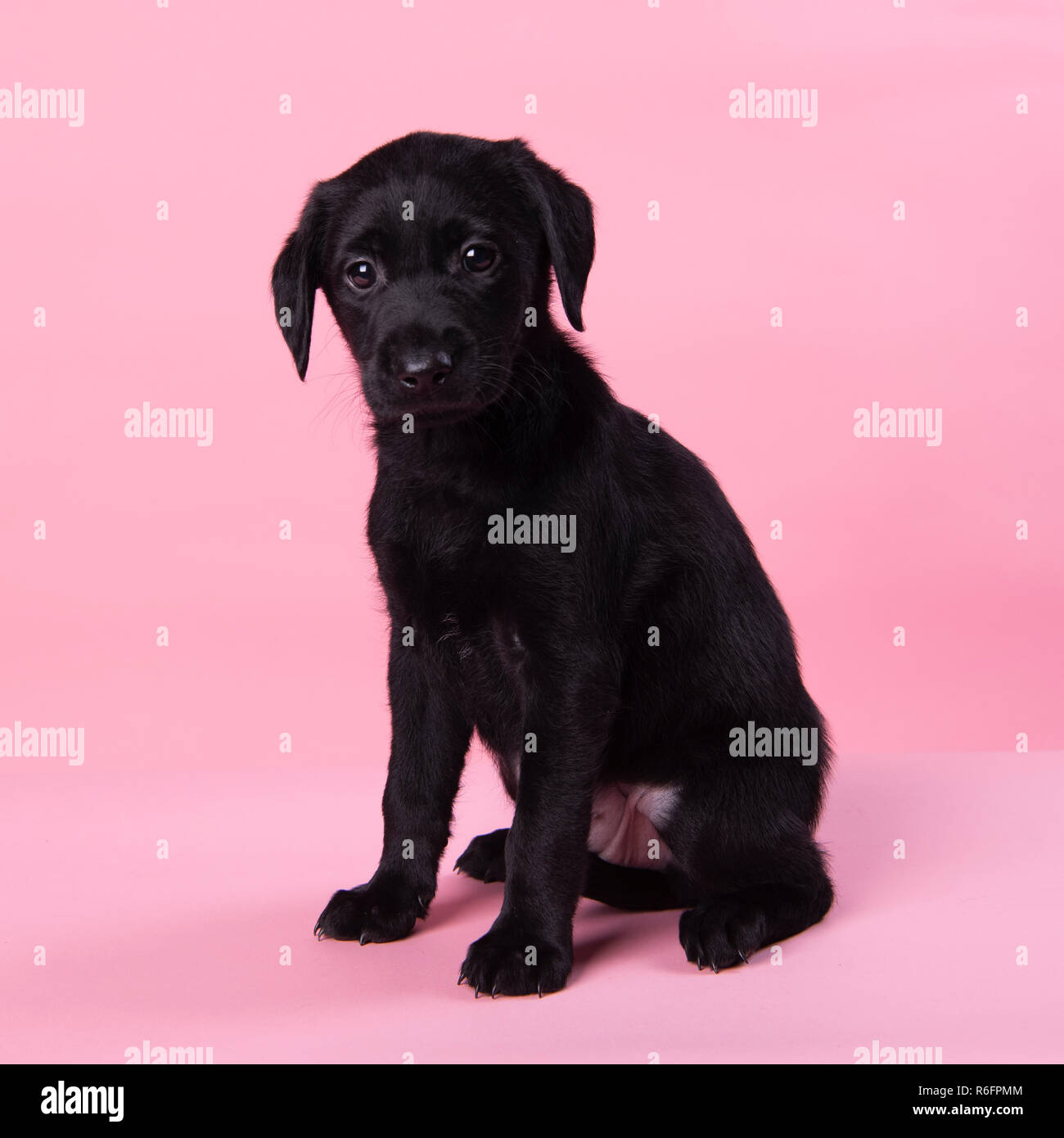 Week Old Labrador Puppy High Resolution Stock Photography And Images Alamy