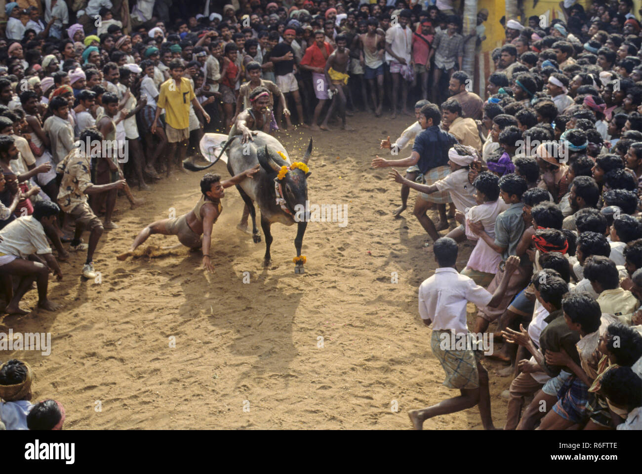 Jallikattu, South Indian version of the taming or running of the bull, tamil nadu, india - Stock Image