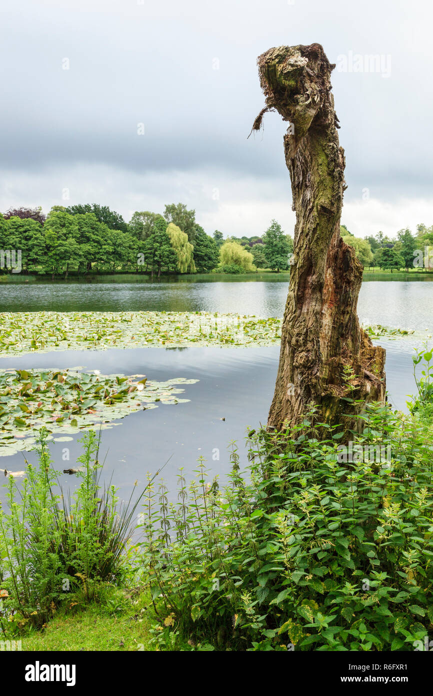 Old twisted tree stump at the side of a lake, Wollaton Park, Nottingham, England, UK - Stock Image