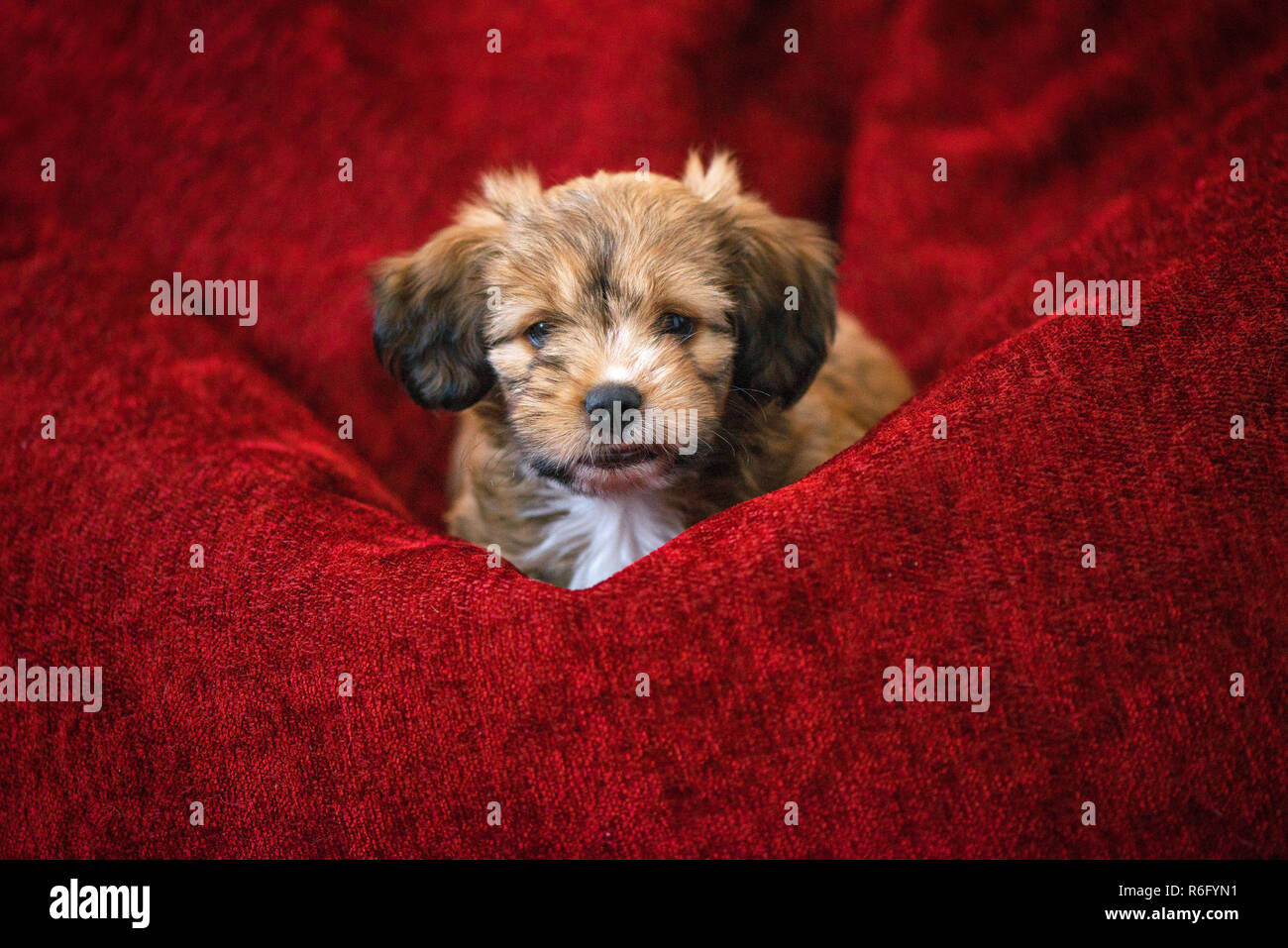 Curious dog obediently laying in big red bean bag. Little, lovely, adorable, fluffy, cute brown puppy is left alone home. Concept of discovering the w - Stock Image