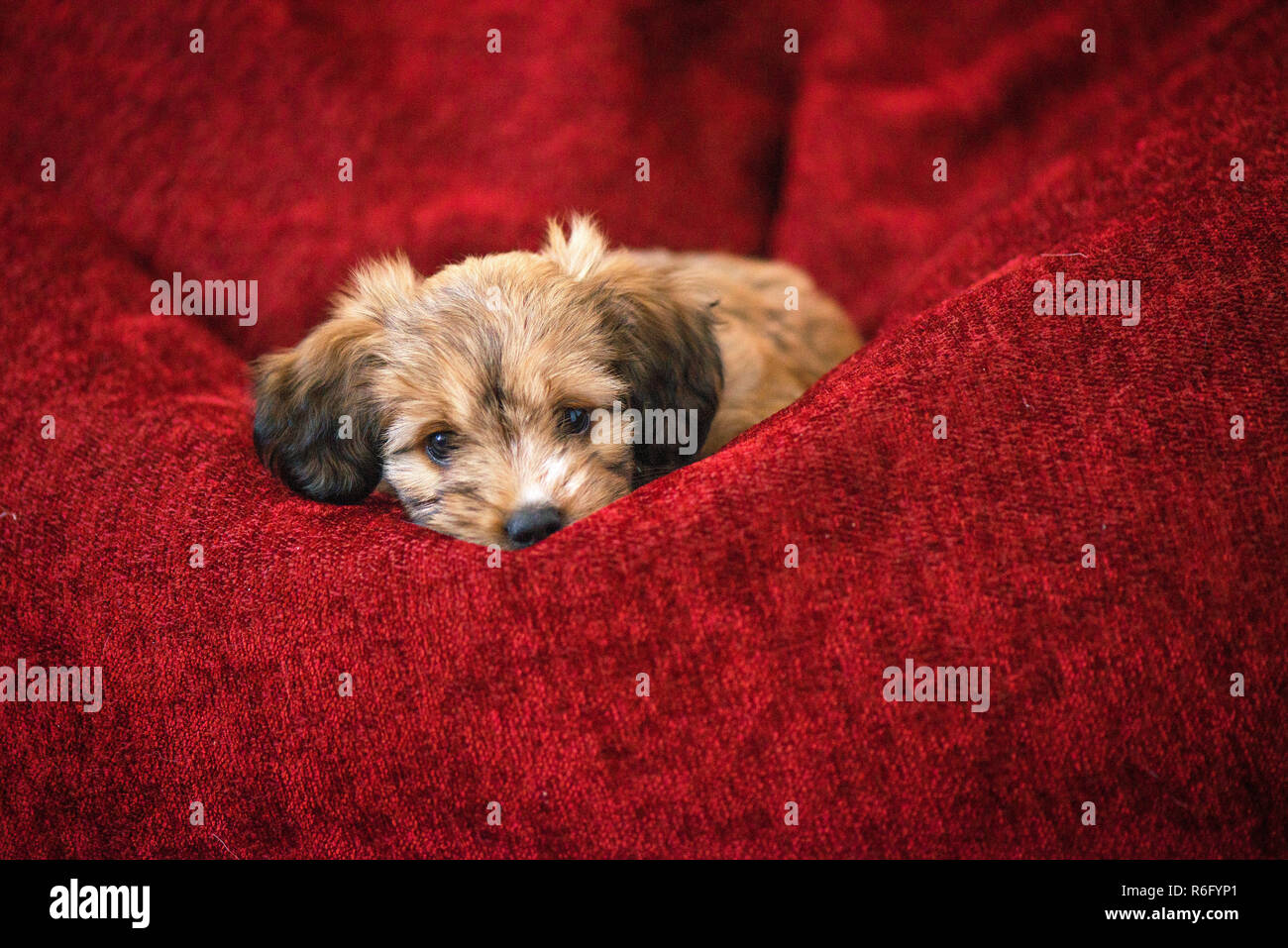 Outstanding Curious Dog Obediently Laying In Big Red Bean Bag Little Cjindustries Chair Design For Home Cjindustriesco