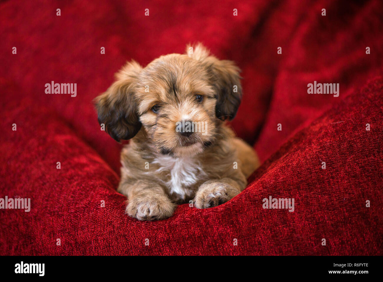 Fantastic Curious Dog Obediently Laying In Big Red Bean Bag Little Uwap Interior Chair Design Uwaporg