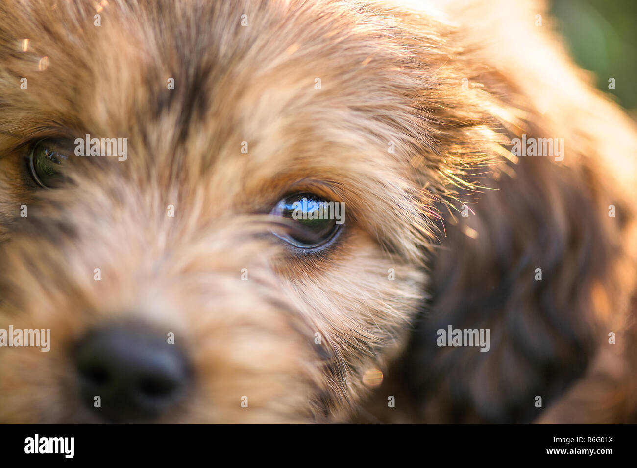 Macro shot of big black eye. Little, small, cute, fluffy, brown puppy. Concept of abandoned domestic animals and pets. Curious, obedient dog. Concept - Stock Image