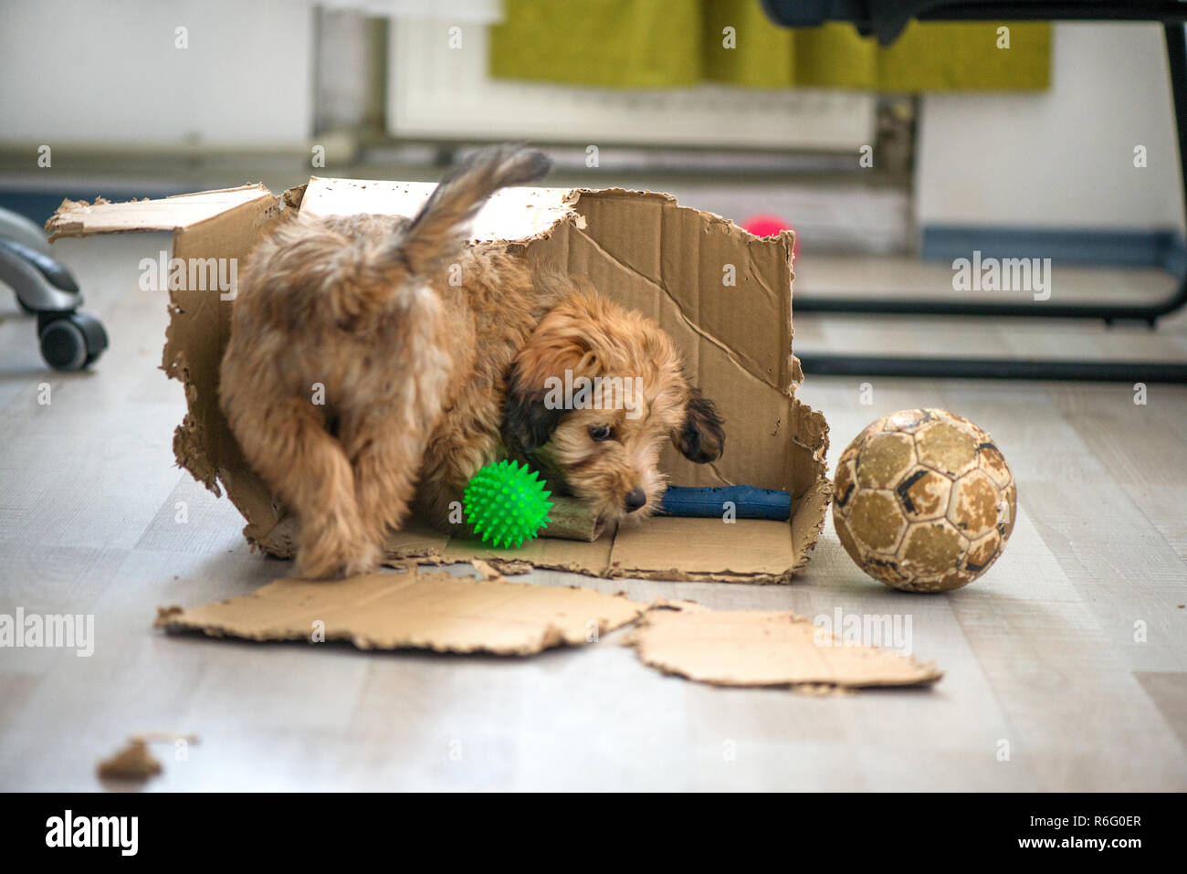 Naughty dog left home alone, sitting in the middle of mess on the floor. Disobedient dog with bad behavior. Puppy chews everything while teeth are gro - Stock Image