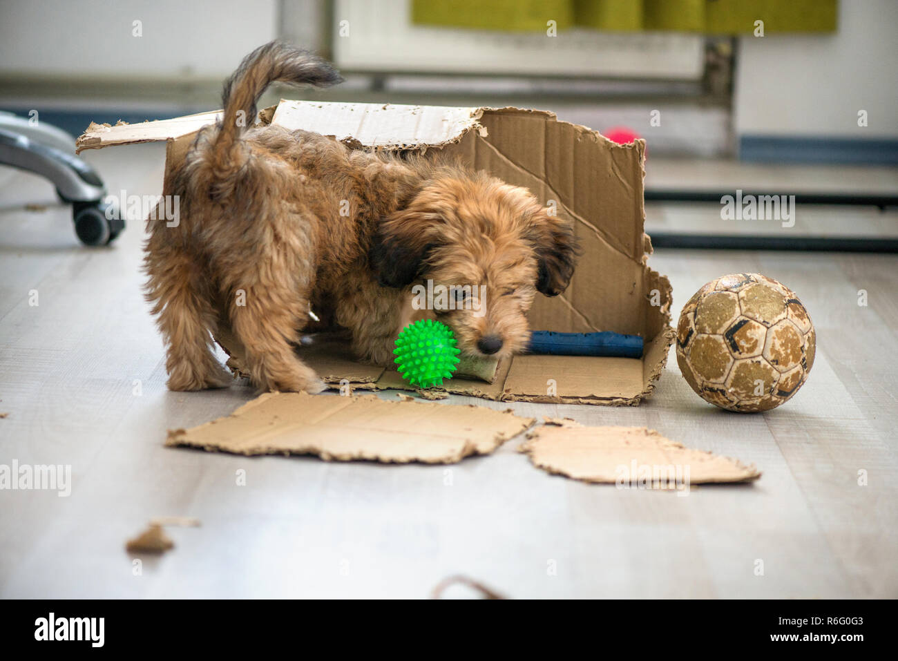 Naughty dog left home alone, sitting in the middle of mess on the floor. Disobedient dog with bad behavior. Puppy chews everything while teeth are gro Stock Photo