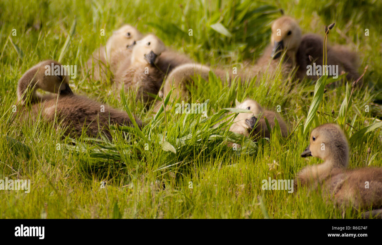 Goslings sitting in grass with tilted heads facing - Stock Image