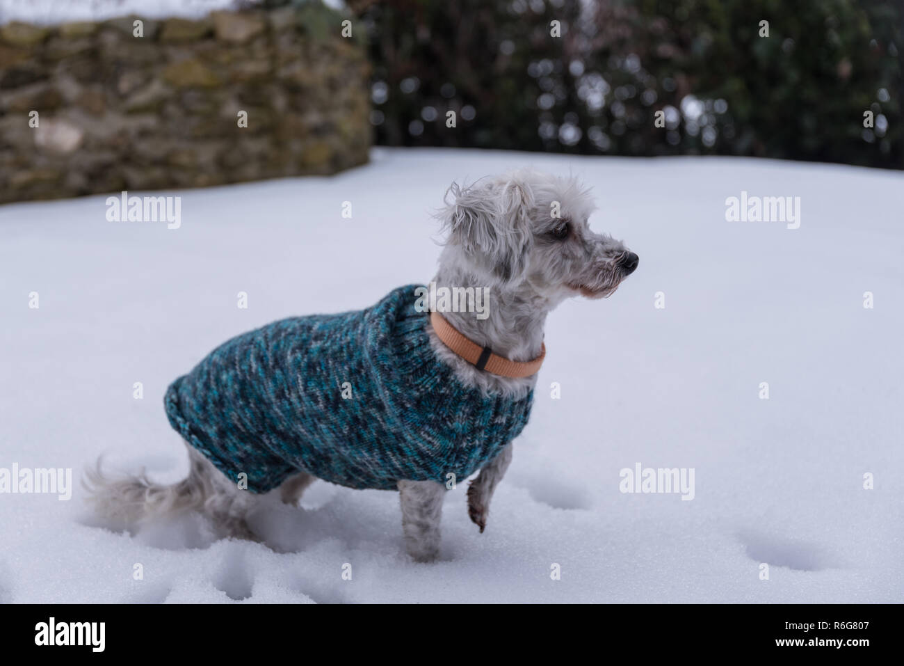 curious dog with dog coat - Stock Image