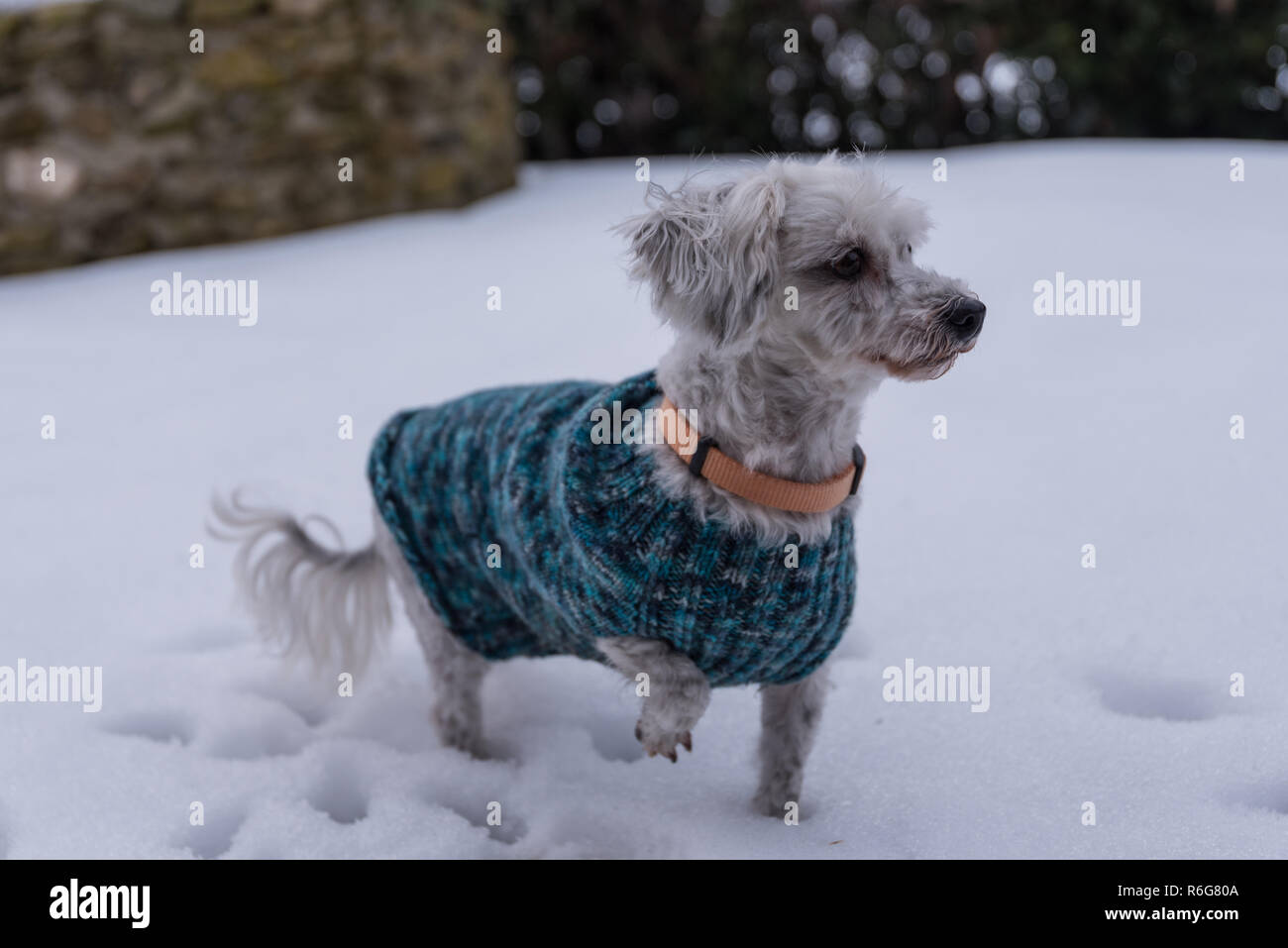 dogs in the snow with dog coat - Stock Image