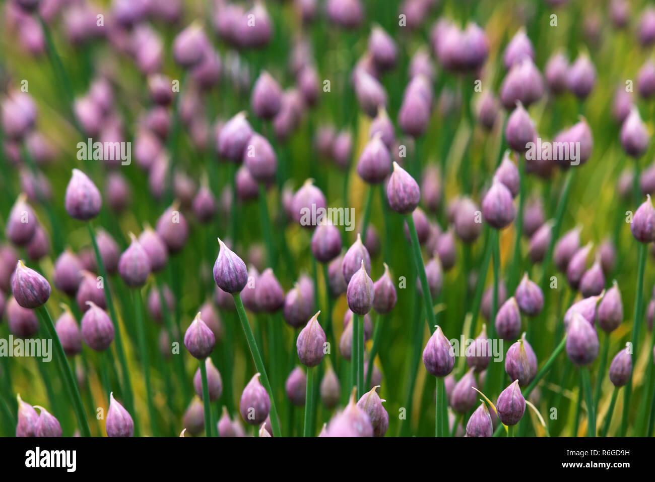 flowering chive allium schoenoprasum in landscape format Stock Photo