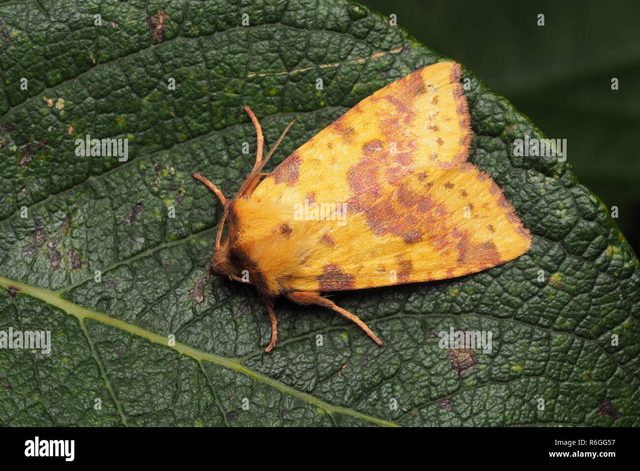 Dorsal view of a Pink-barred Sallow moth (Xanthia togata) resting on a leaf. Tipperary, Ireland - Stock Image