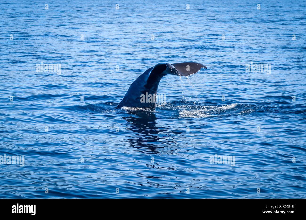 Whale in Kaikoura bay, New Zealand Stock Photo