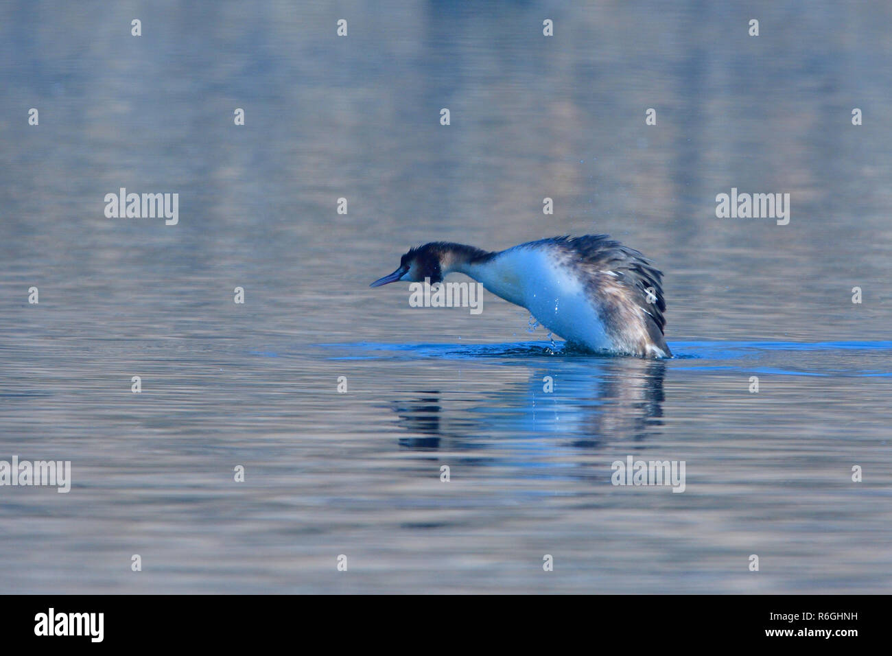great crested grebe in winter - Stock Image