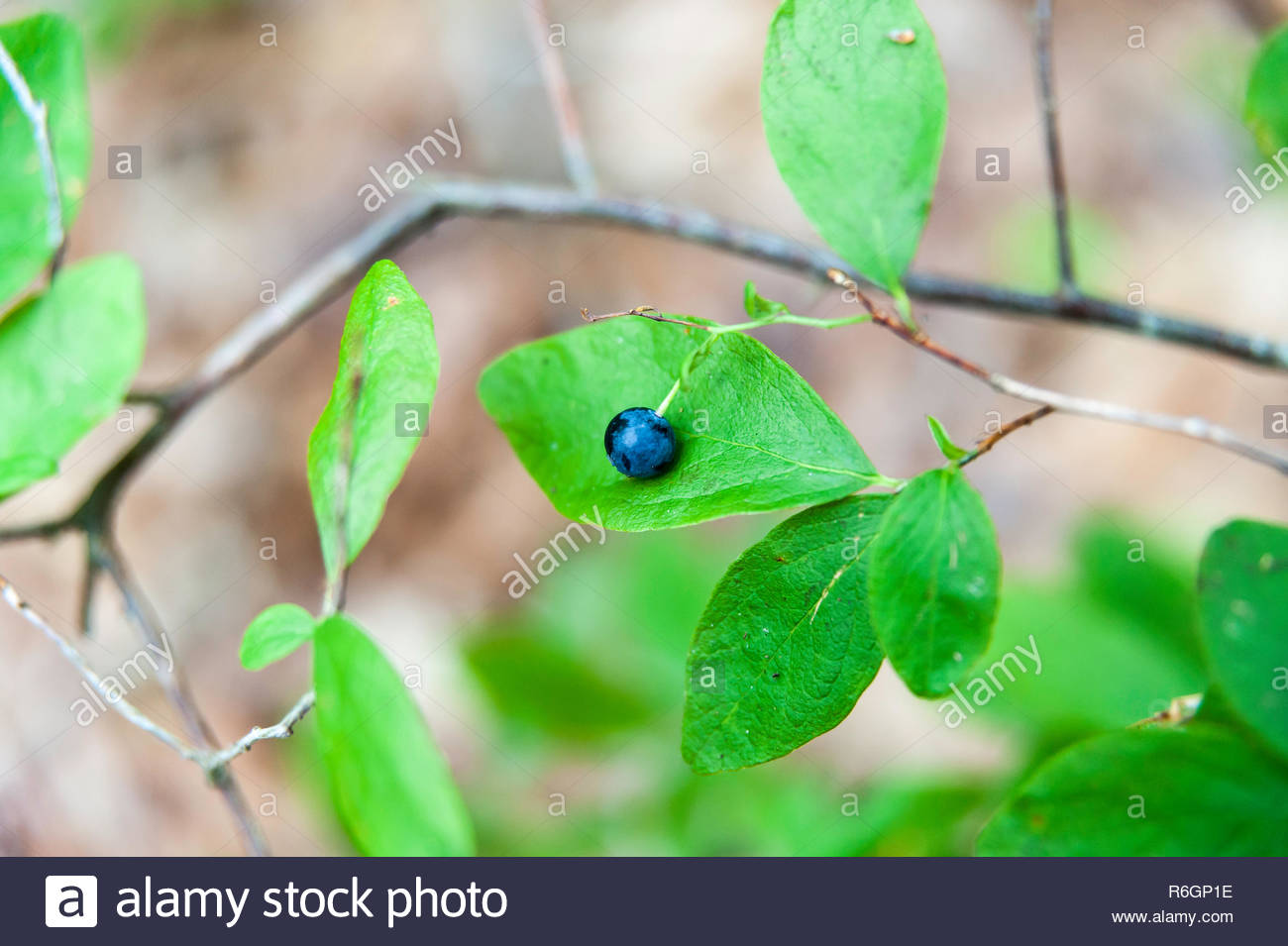 Lowbush Blueberry framed against one of its leaves - Stock Image