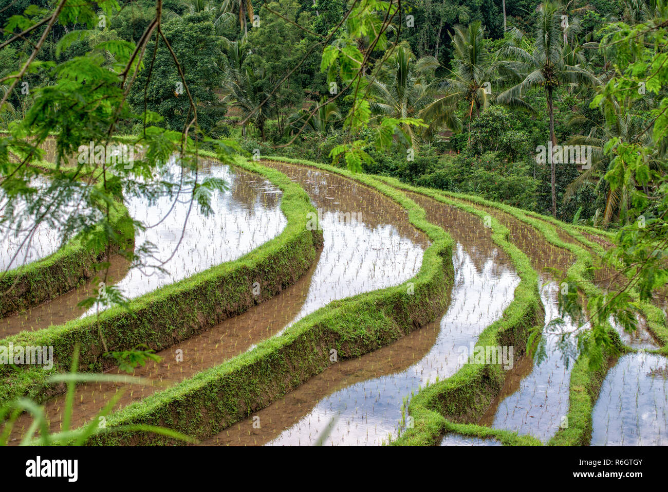 The famous Balinese rice terraces at Jatiluwih - Stock Image