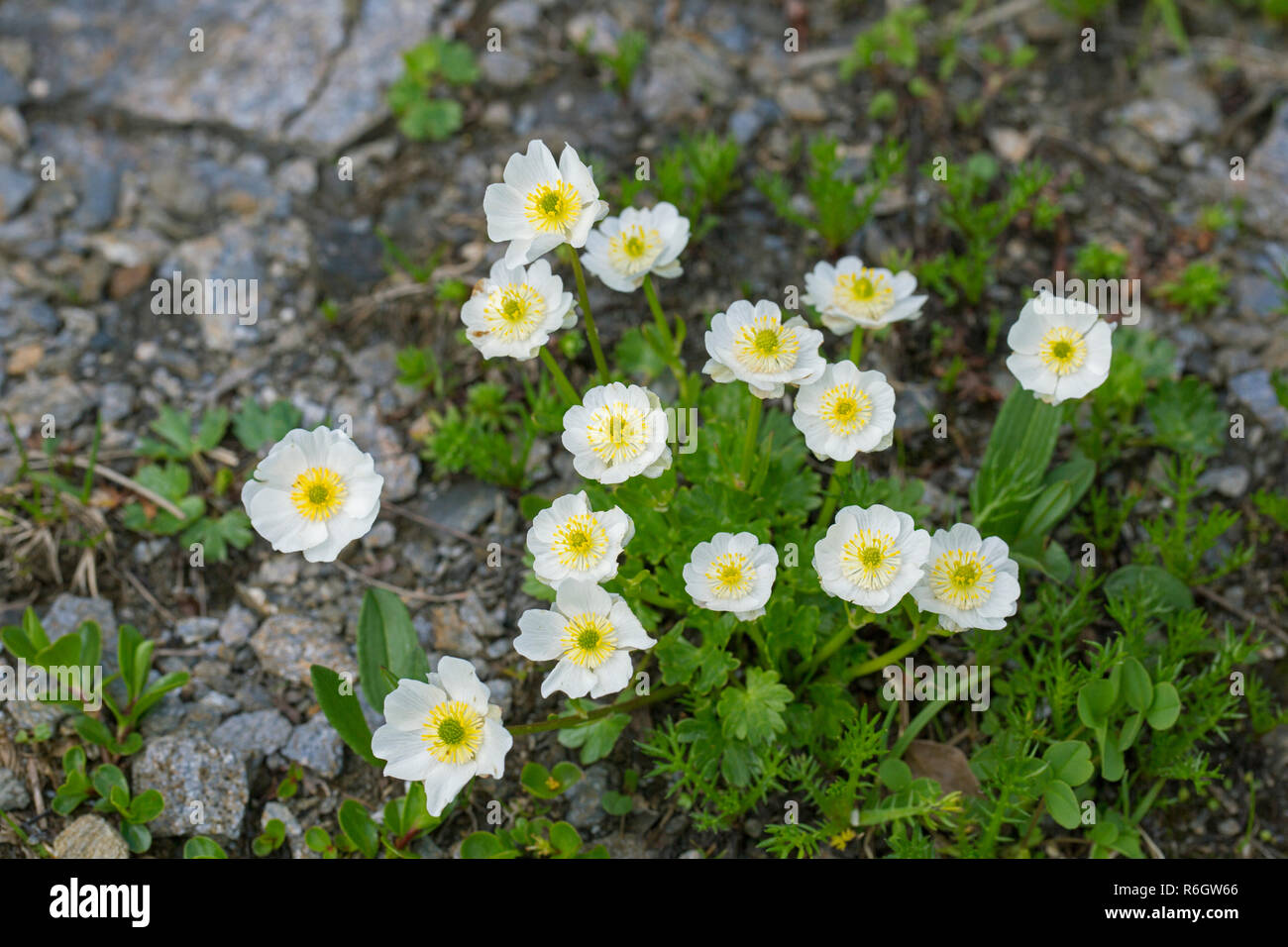 Alpine crowfoot / Alpine buttercup (Ranunculus alpestris) flowers in summer, native to the Alps, Pyrenees, Carpathian Mountains, and Apennines - Stock Image