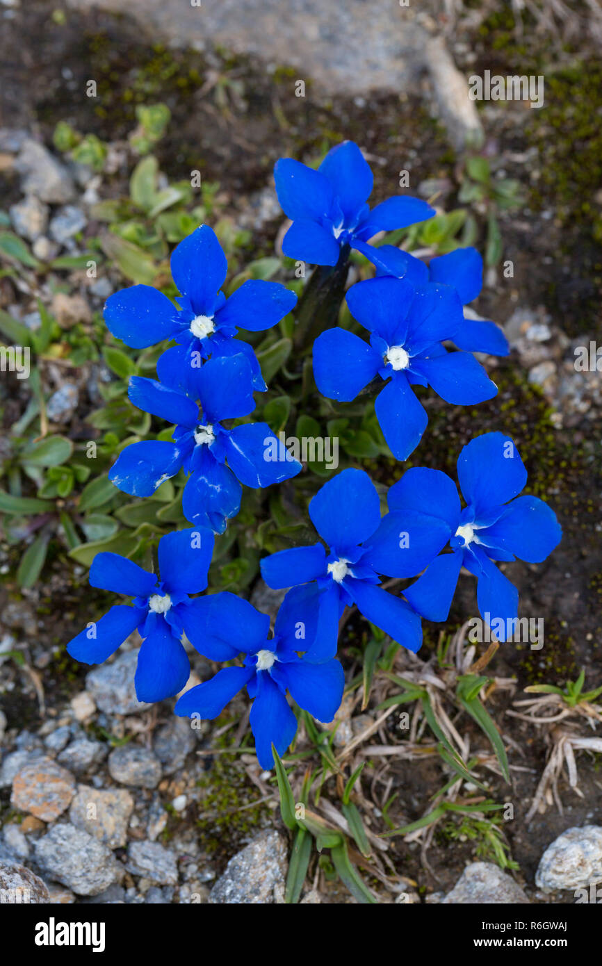 Bavarian gentian (Gentiana bavarica) in flower native to European Alps - Stock Image